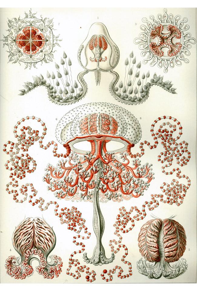 2 Ernst Haeckels gopler.